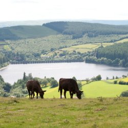 Cows on a hill in front of a gleaming lake, hazy skies