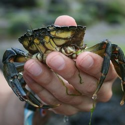 A close-up of a crab in someone's hand