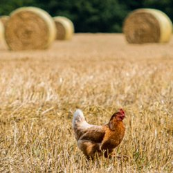 Chicken in a harvested field with hay bales in the background