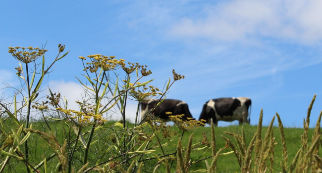 Two cows stand atop a field
